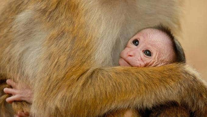 Monkey Kingdom By Disneynature