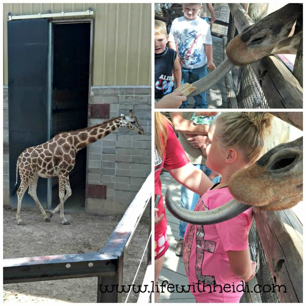 Feed the giraffes at Dickerson Park Zoo