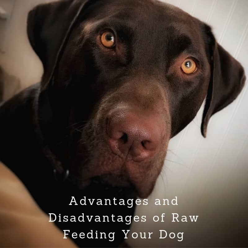 Advantages and Disadvantages of Raw Feeding Your Dog