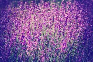 What You Should Know About Lavender