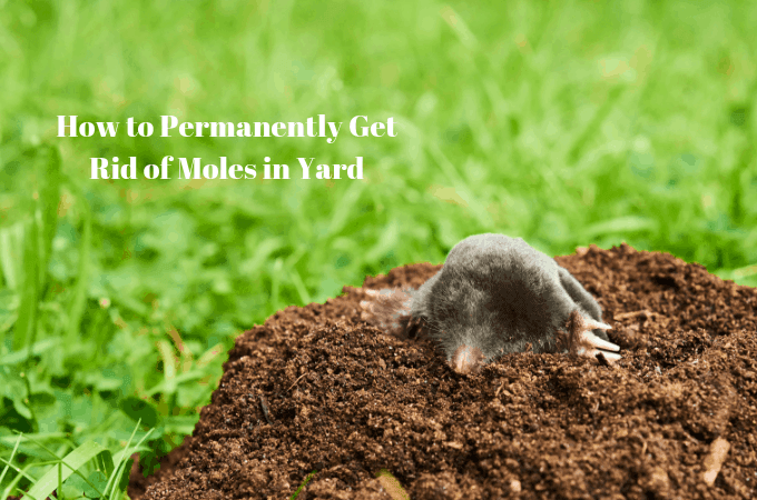 How to Permanently Get Rid of Moles in Yard